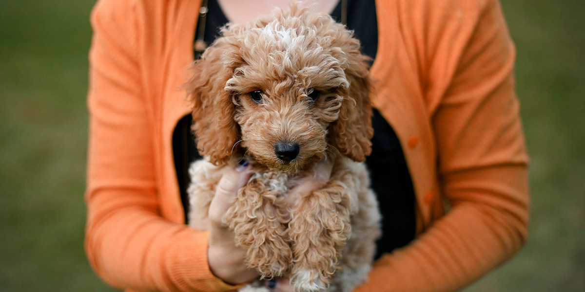 HappyTail_PUPPY_Labradoodle_1200x600